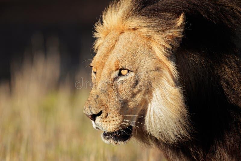 Verticale africaine de lion images libres de droits