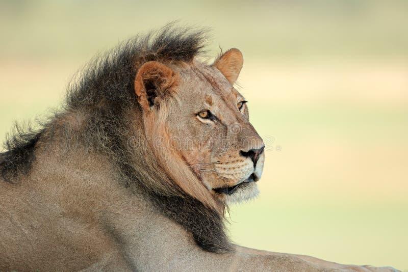 Verticale africaine de lion photographie stock libre de droits