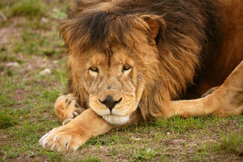 Verticale animale mâle sauvage de beau lion image libre de droits