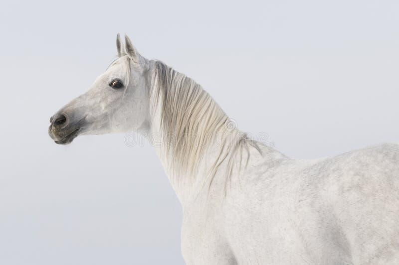 Verticale Arabe blanche de cheval photos libres de droits