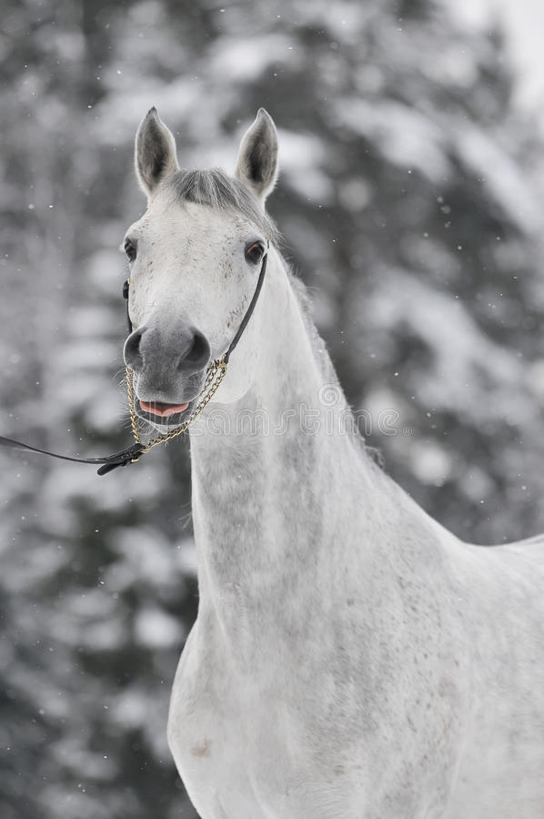Verticale Arabe blanche en hiver image libre de droits