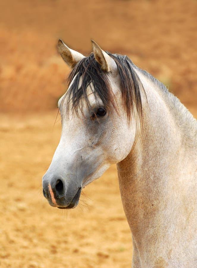 Verticale Arabe de cheval photo libre de droits