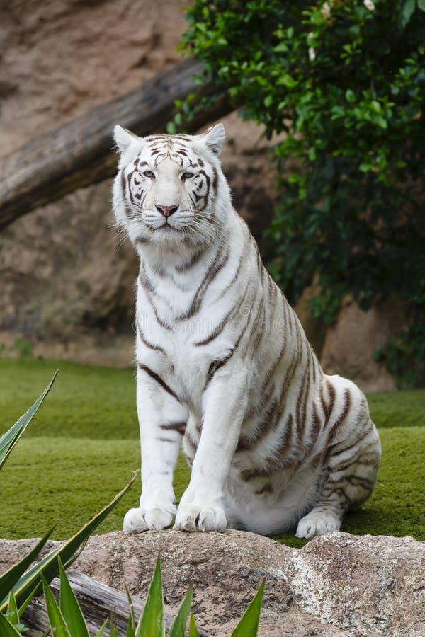 Verticale blanche de tigre photo libre de droits