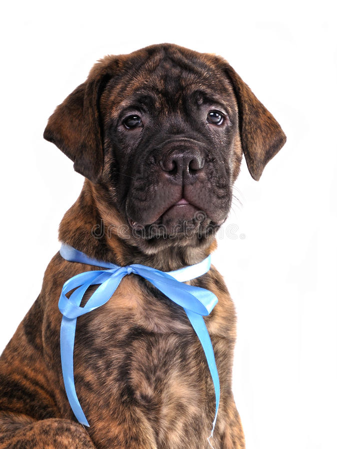 Verticale Brindled de chiot de Bullmastiff images stock