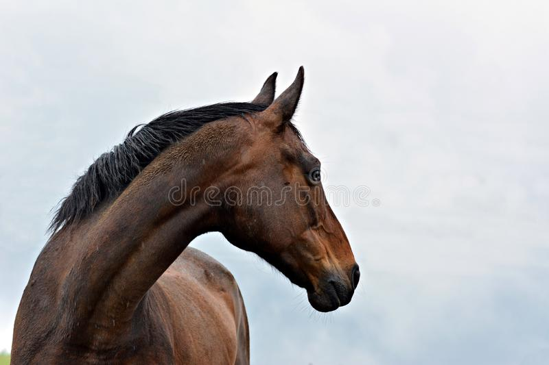 verticale brune de cheval images stock