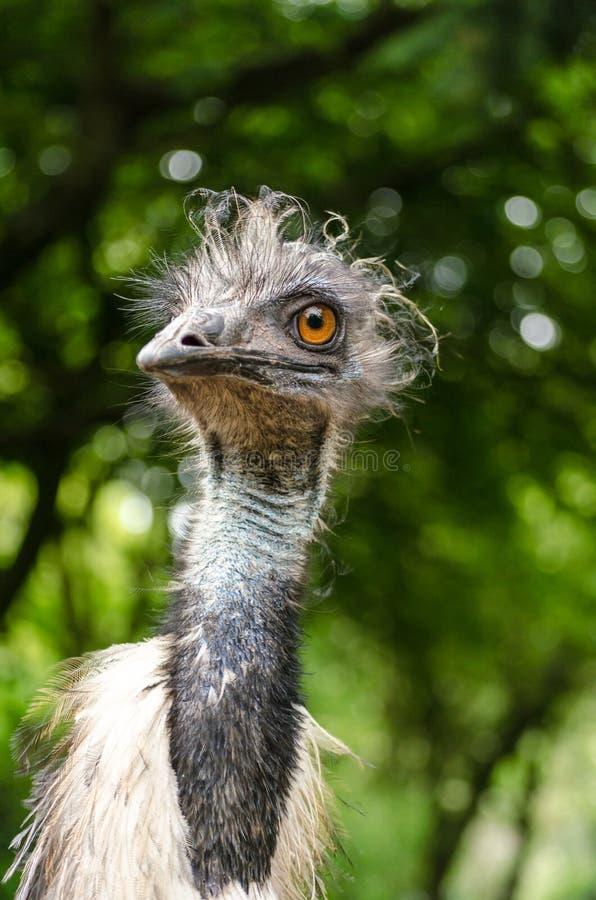 Verticale capo alto del fronte di grande fine dell'uccello dell'emù immagine stock libera da diritti