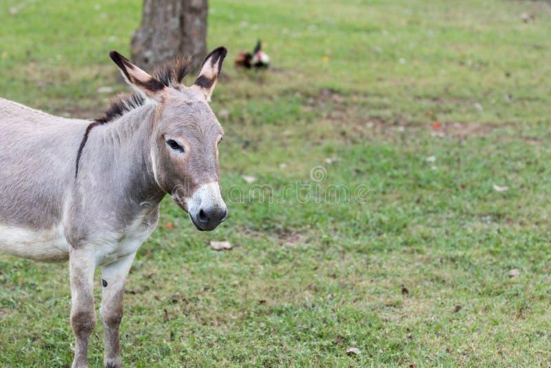 Verticale d'âne photos stock