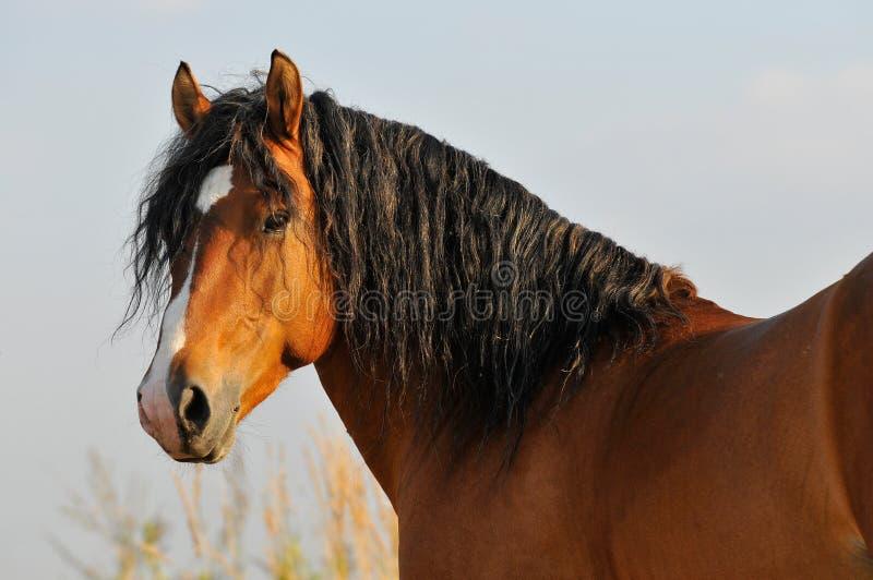 Verticale d'étalon de cheval de compartiment photo stock