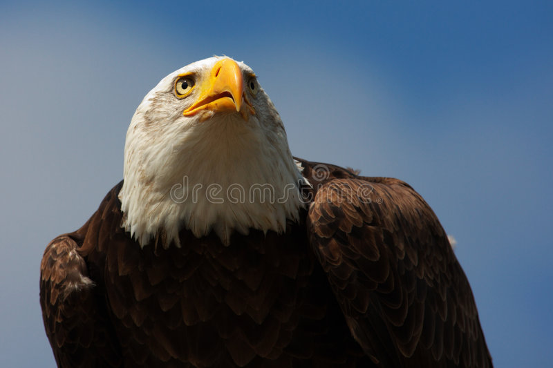 verticale d'aigle chauve photo stock