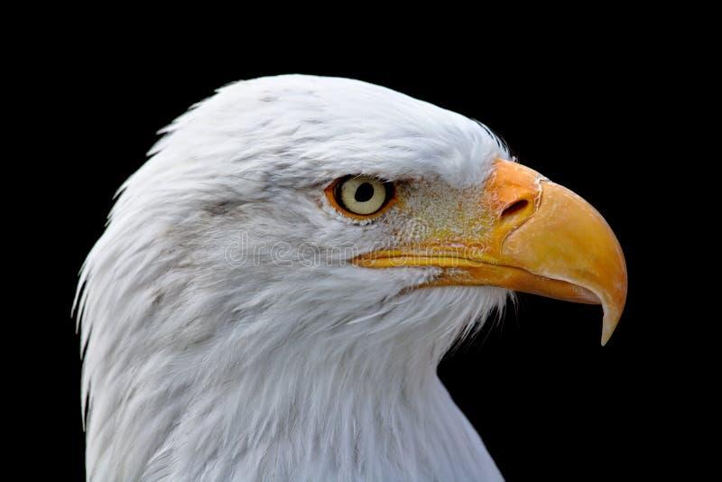 Verticale d'aigle chauve images libres de droits