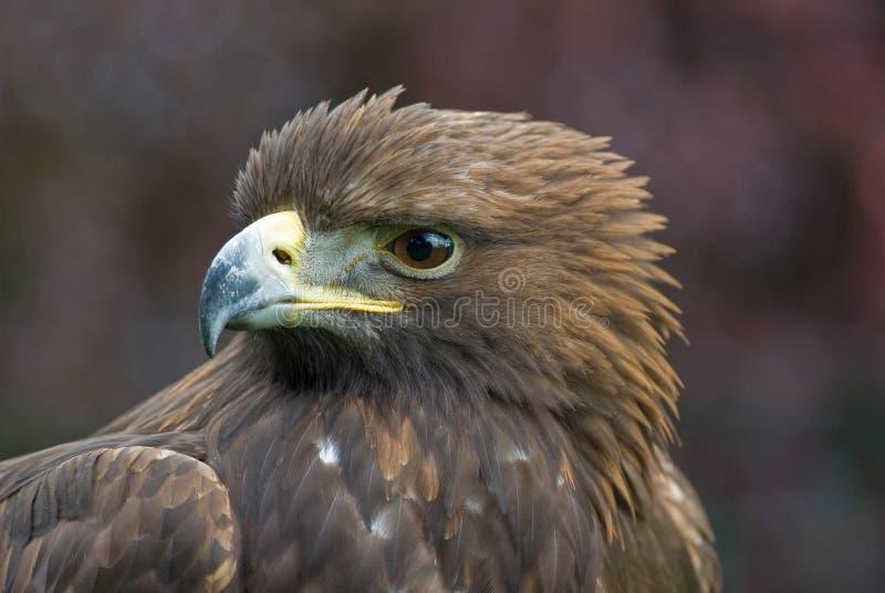 verticale d'or d'aigle images libres de droits