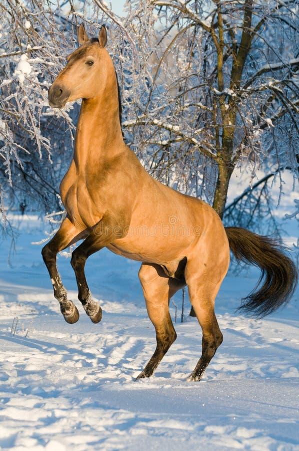 Verticale d'or de cheval d'akhal-teke photo stock