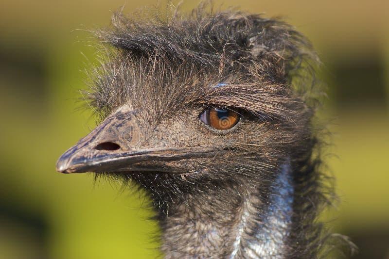 Verticale d'Emu photo libre de droits