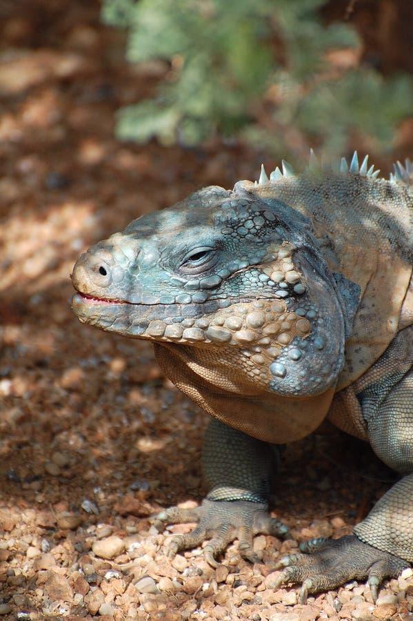 Verticale d'iguane de rhinocéros   photo stock