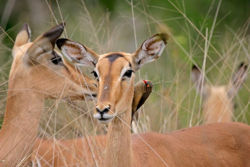 Verticale d'Impala images libres de droits
