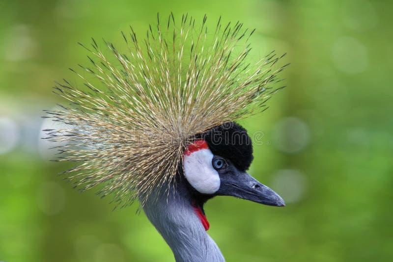 Verticale d'oiseau Grue couronnée grise images stock