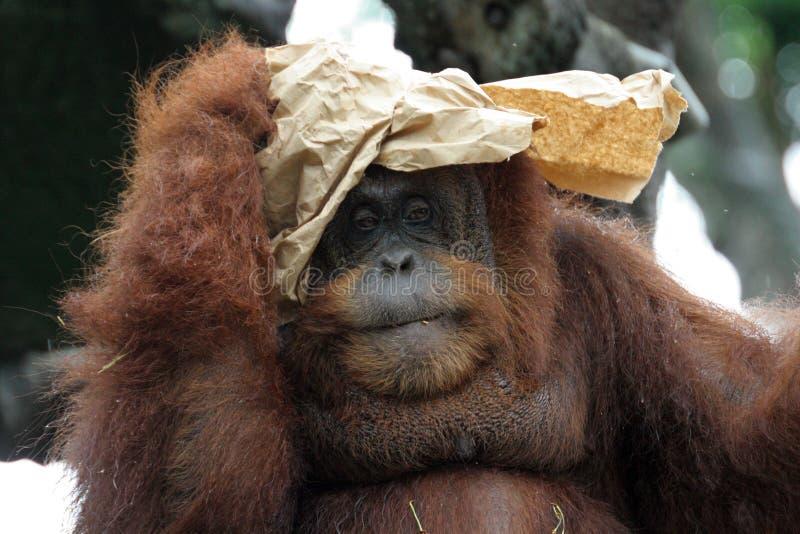 Verticale d'orang-outan photographie stock