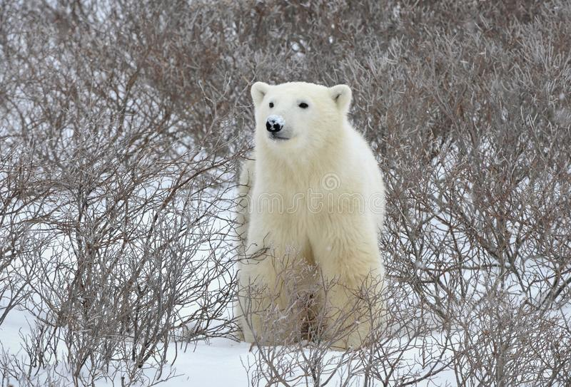 Verticale d'ours blanc. photos stock