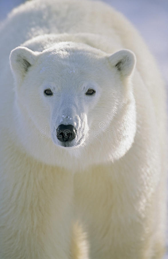 Verticale d'ours blanc. Churchill, Canada images stock