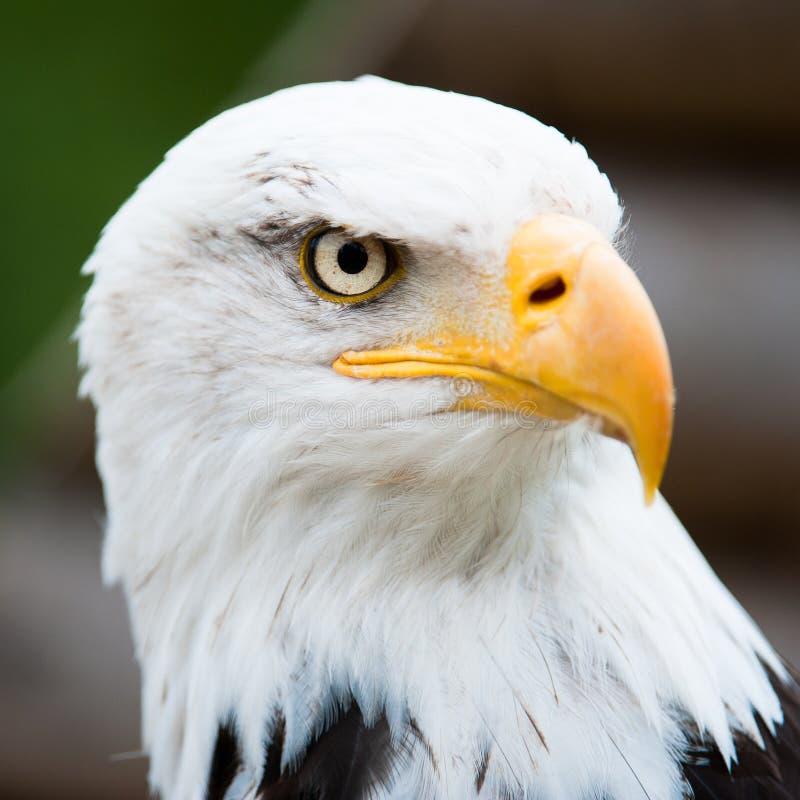 Verticale d'un aigle chauve photo stock