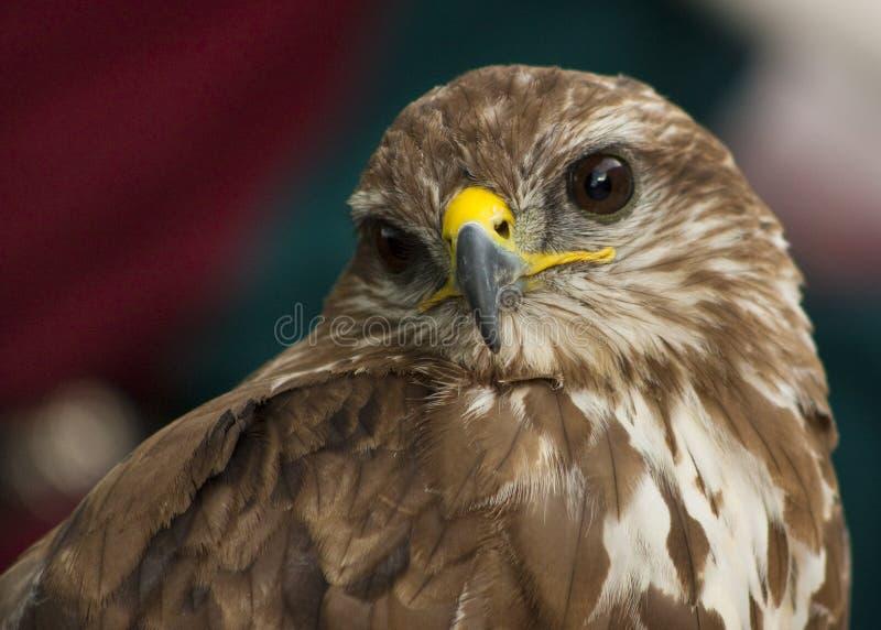 Verticale d'un beau rapace ou faucon photo libre de droits