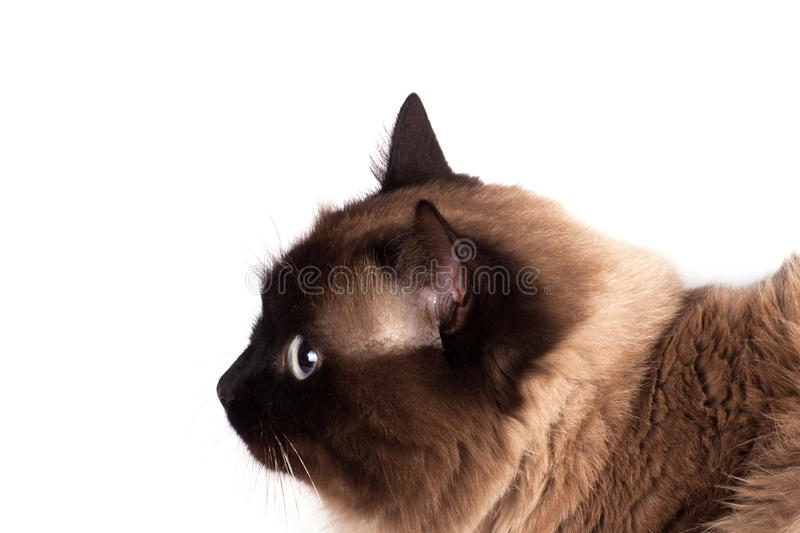 Verticale d'un chat siamois photographie stock