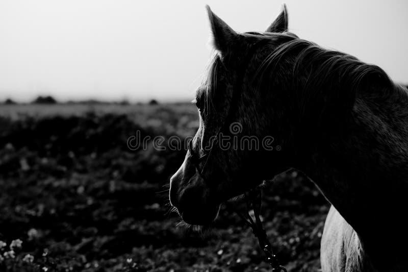 Verticale d'un cheval Arabe image libre de droits