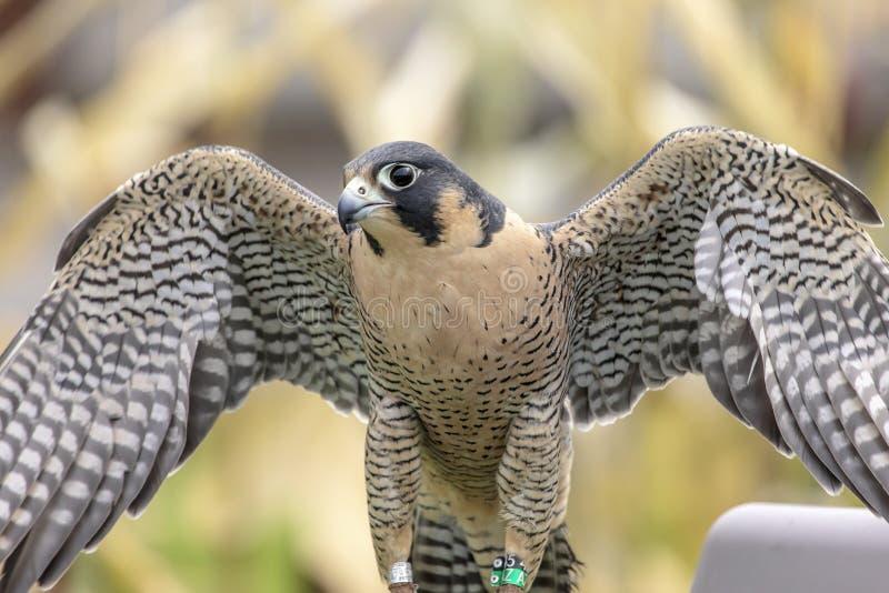 Verticale d'un faucon pérégrin images stock
