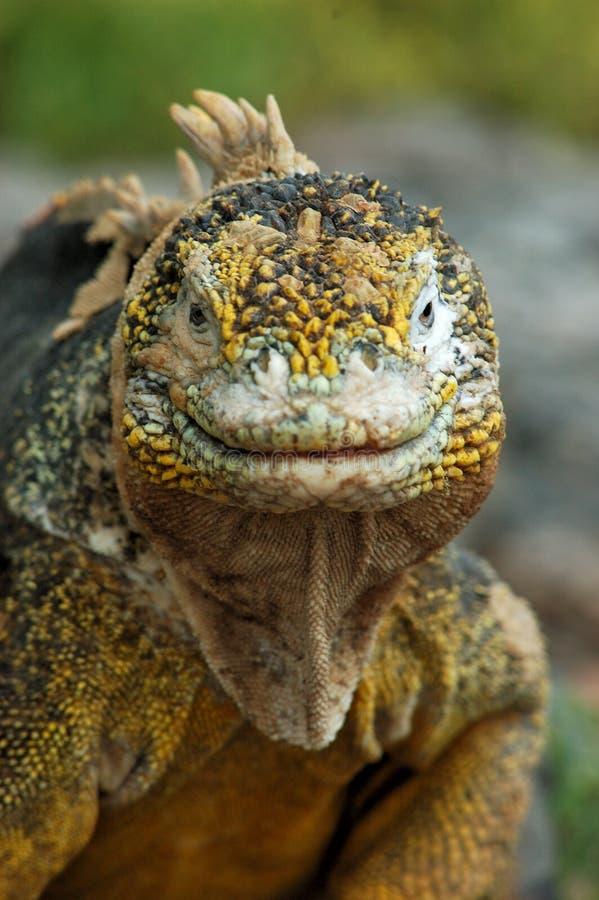 Verticale d'un iguane photographie stock libre de droits