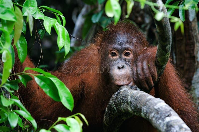 Verticale d'un jeune orang-outan image libre de droits