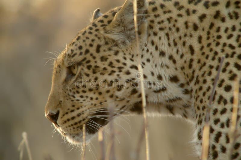 Verticale d'un léopard image libre de droits
