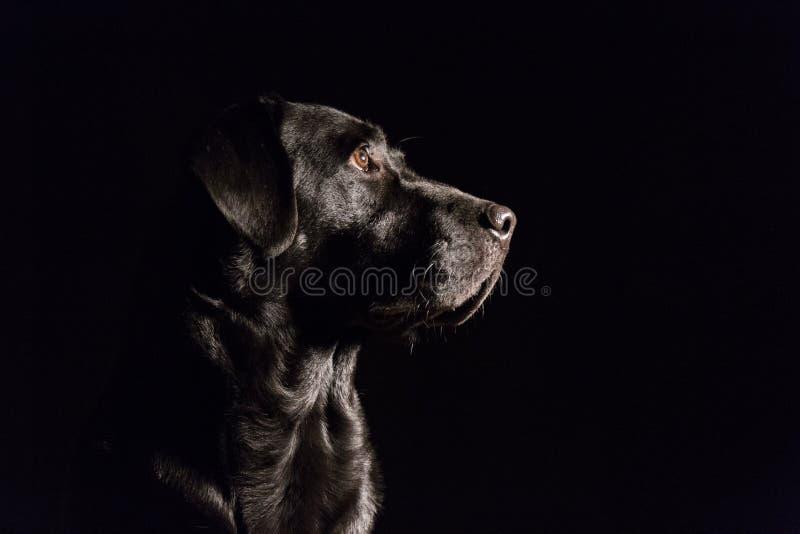 Verticale d'un Labrador noir image libre de droits