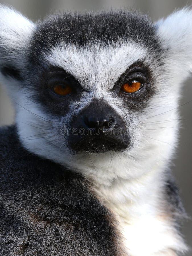 Verticale d'un Lemur Ring-tailed grincheux photographie stock libre de droits