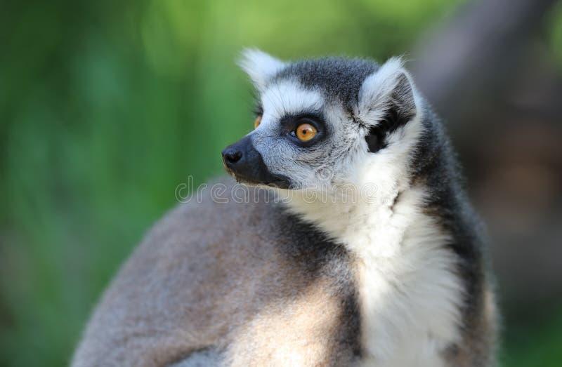 Verticale d'un Lemur suivi par boucle images stock