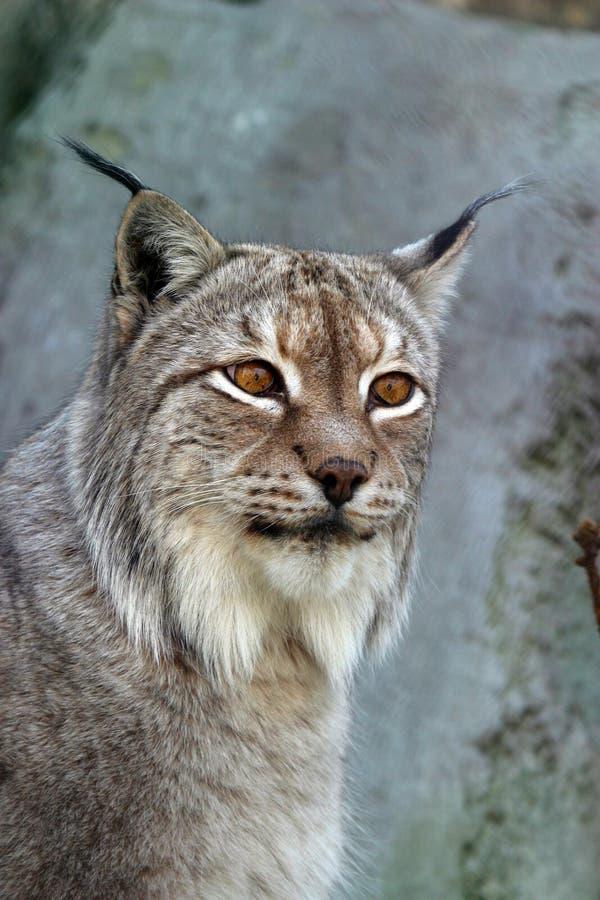 Verticale d'un lynx image stock