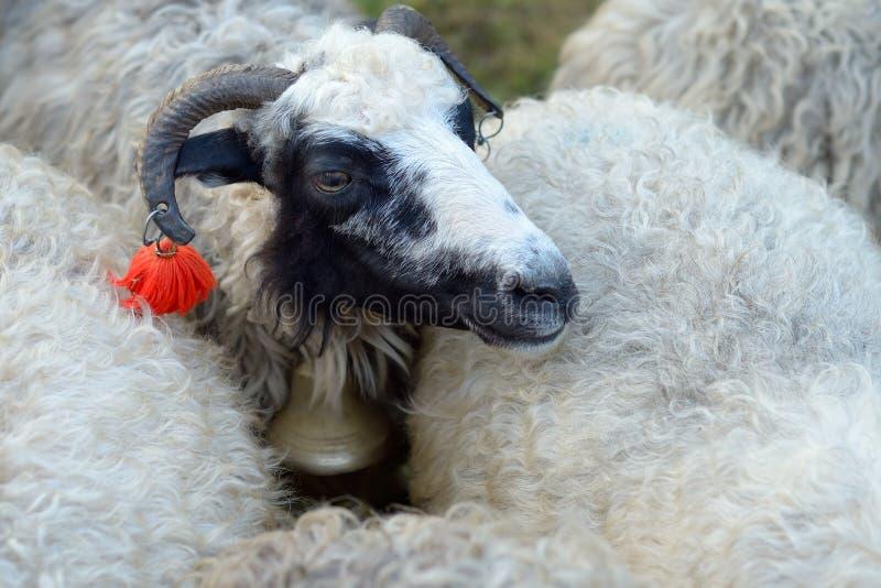 Verticale d'un mouton photo libre de droits