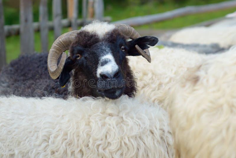 Verticale d'un mouton photographie stock libre de droits