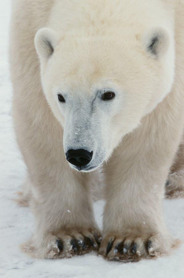 Verticale d'un ours blanc. photographie stock libre de droits