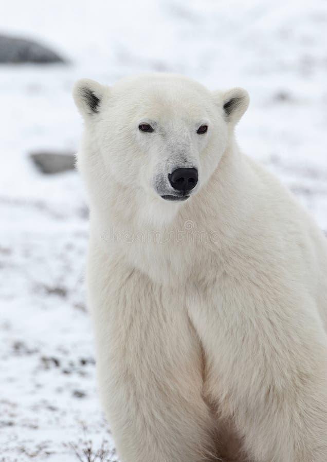 Verticale d'un ours blanc. photos libres de droits