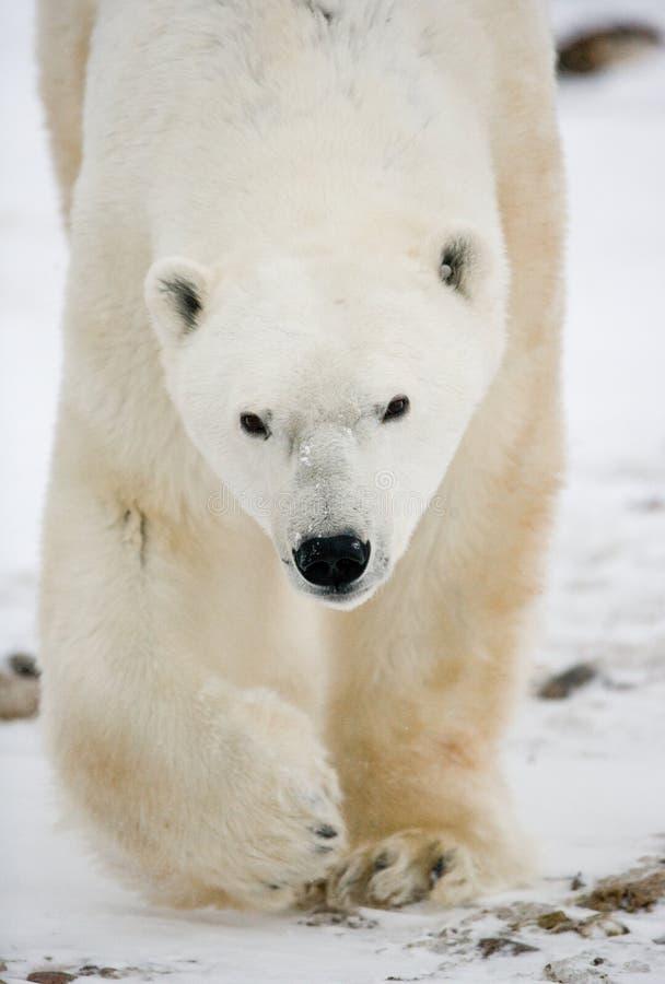 Verticale d'un ours blanc Plan rapproché canada image libre de droits