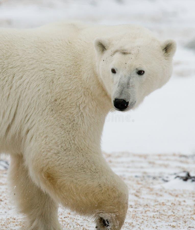 Verticale d'un ours blanc Plan rapproché canada photos stock