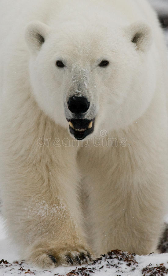 Verticale d'un ours blanc Plan rapproché canada images stock
