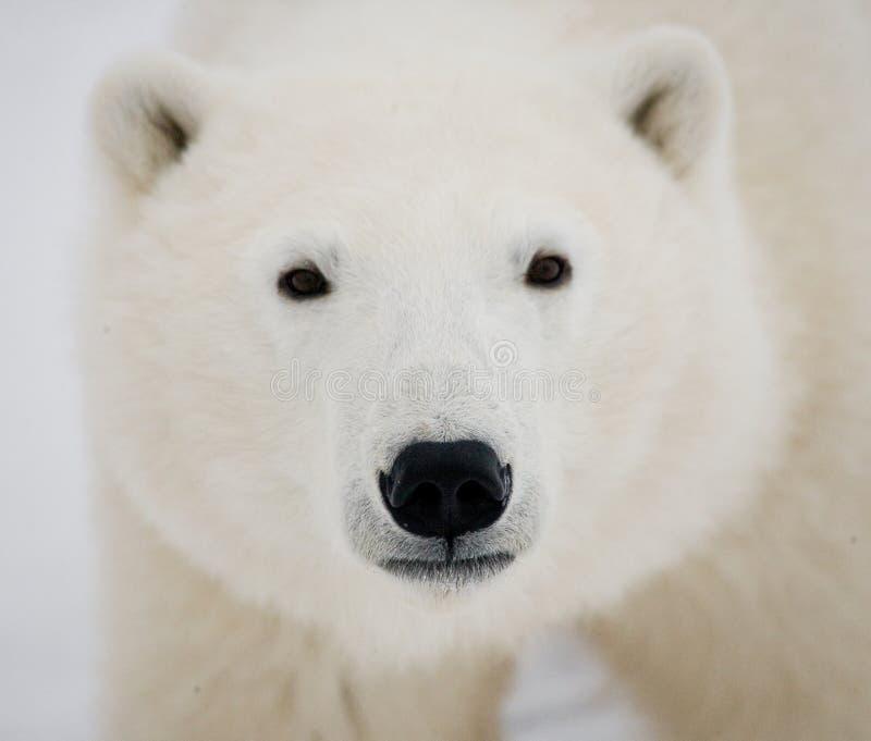 Verticale d'un ours blanc Plan rapproché canada photo libre de droits