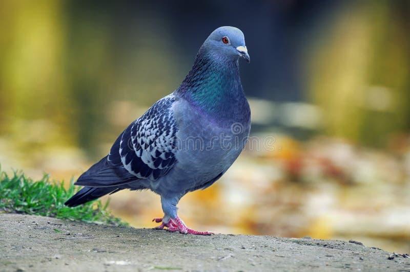 Verticale d'un pigeon images libres de droits