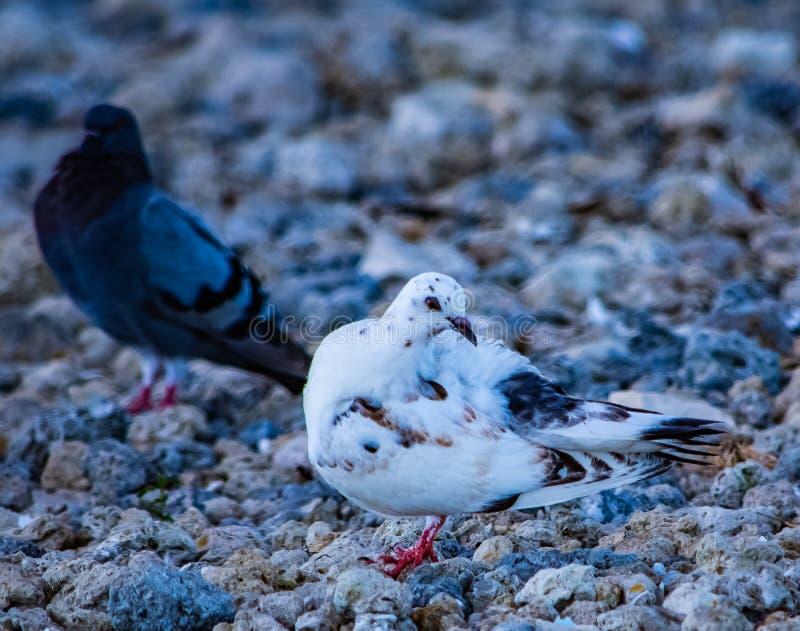 Verticale d'un pigeon blanc photos stock