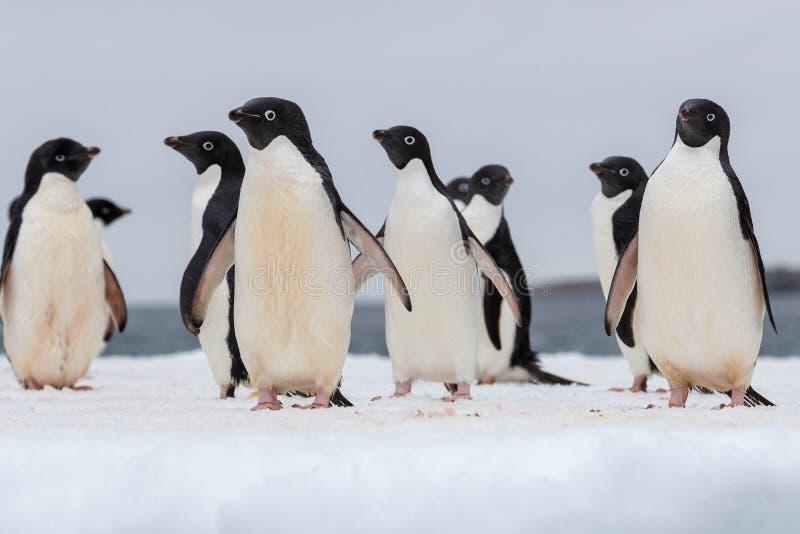 Verticale d'un pingouin d'Adelie Pingouins d'Adelie défilant sur un flocon de glace image libre de droits