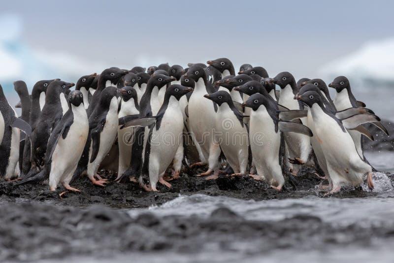 Verticale d'un pingouin d'Adelie Pingouins d'Adelie se dirigeant pour la mer mais un certain changement leurs esprits et retourné photographie stock