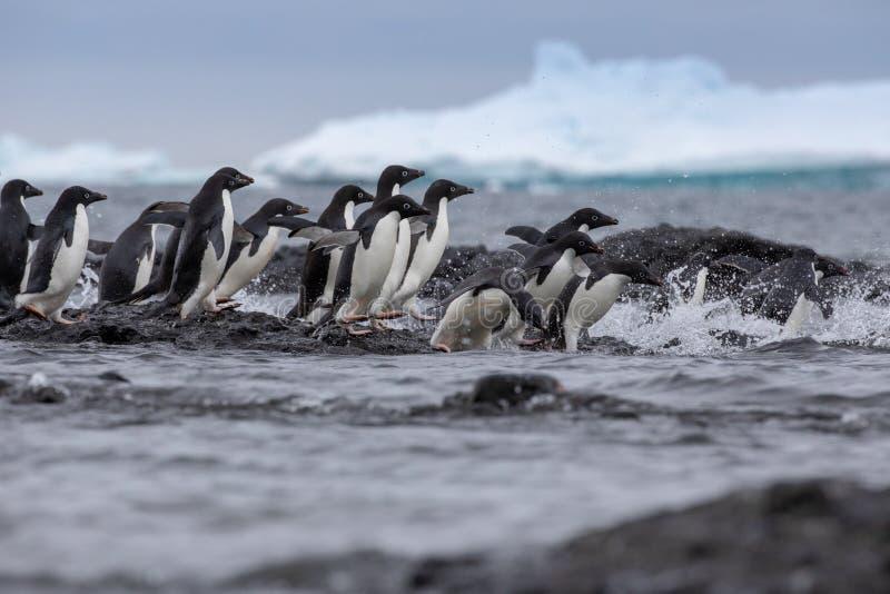 Verticale d'un pingouin d'Adelie Pingouins d'Adelie se dirigeant pour la mer photos libres de droits