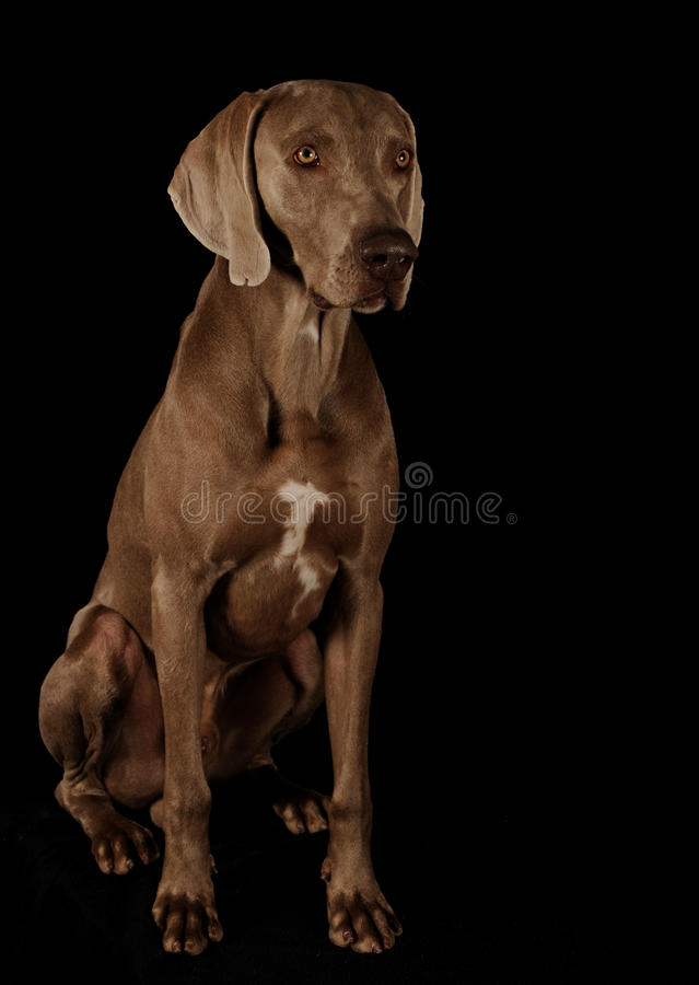Verticale d'un weimaraner photo stock