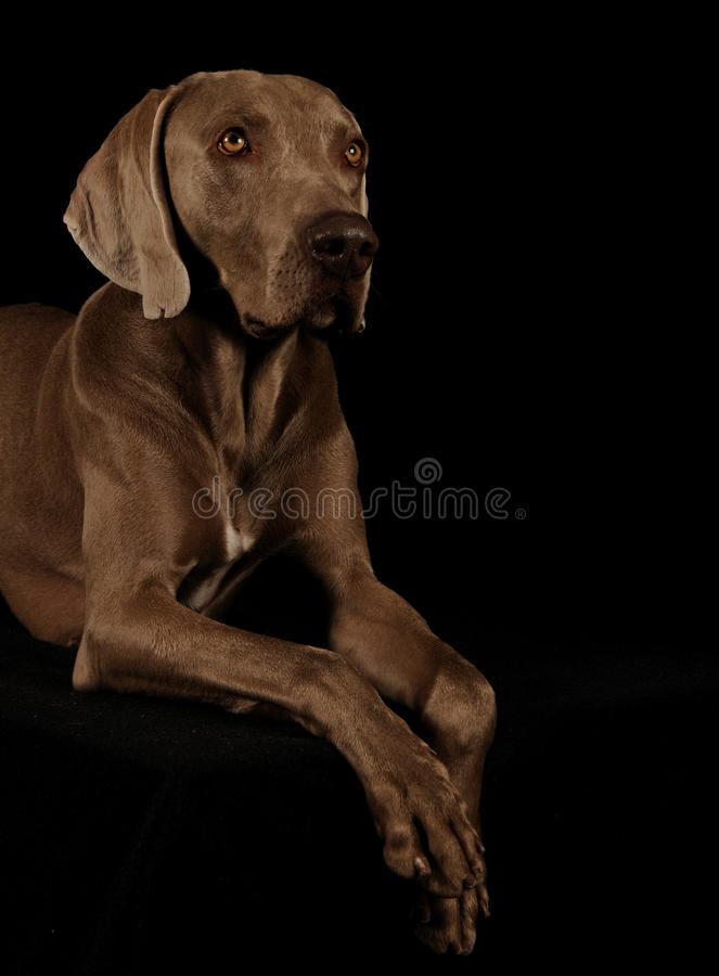Verticale d'un weimaraner photos stock